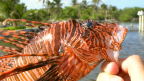 Belize Lionfish Hunting