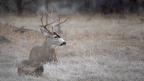 Burney Mule Deer