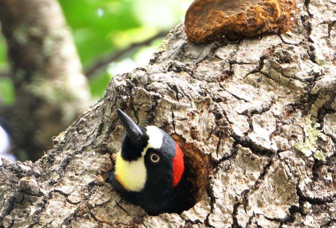 AcornWoodpecker2