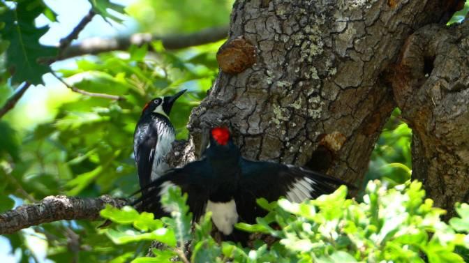 AcornWoodpecker4