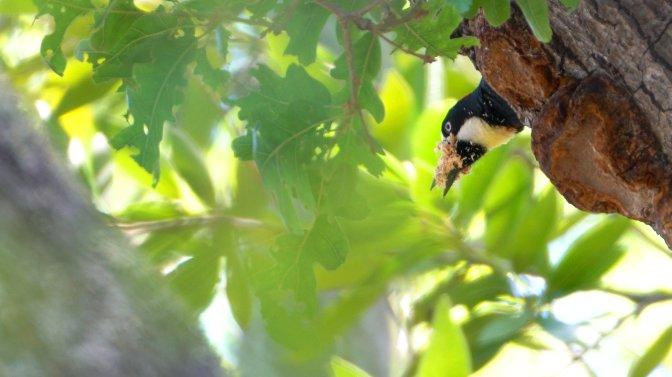 AcornWoodpecker5