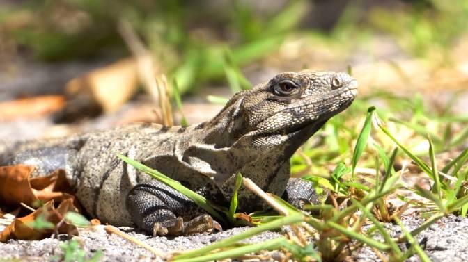 Iguana06ViaFCPXsml