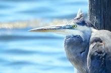 Cool blue stare
