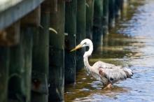 Wurdemann's slipping away, under the dock